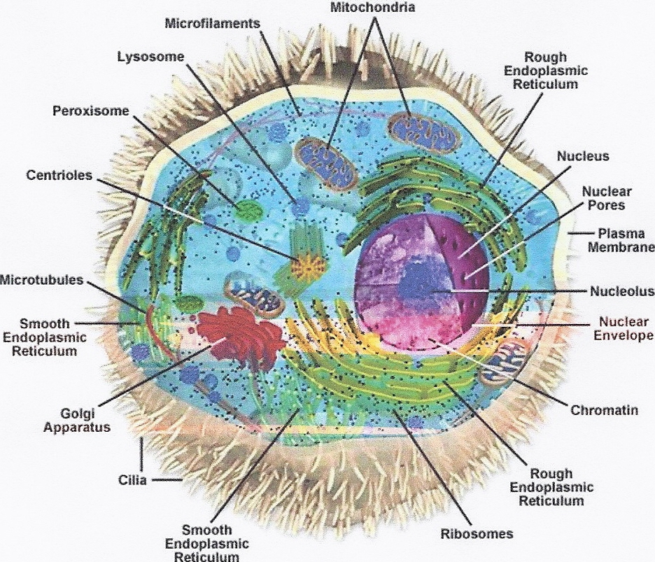 The process of the cell to